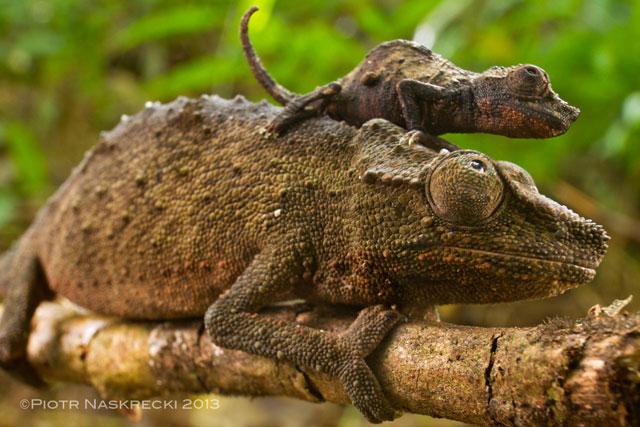 Gorongosa pygmy chameleon