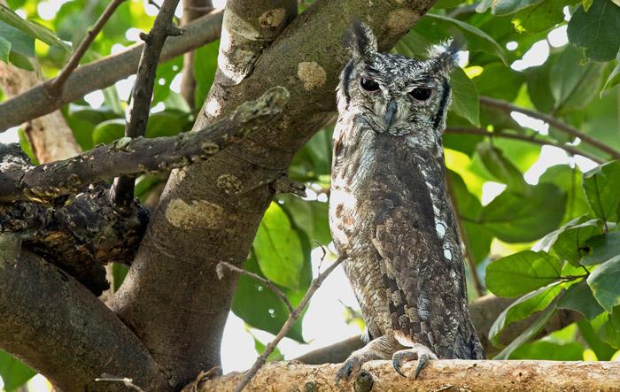 Greyish eagle owl © Sherry McKelvie
