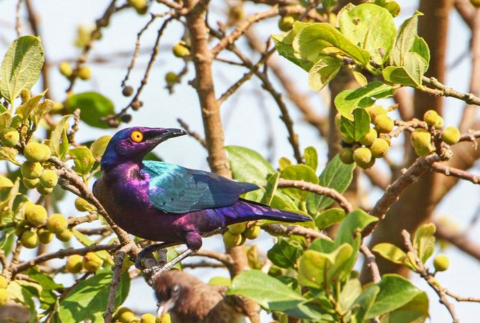 Purple starling © Sherry McKelvie