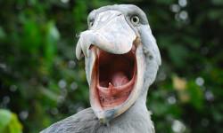 Shoebill-Birding-Uganda