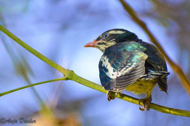 cuckoo chick