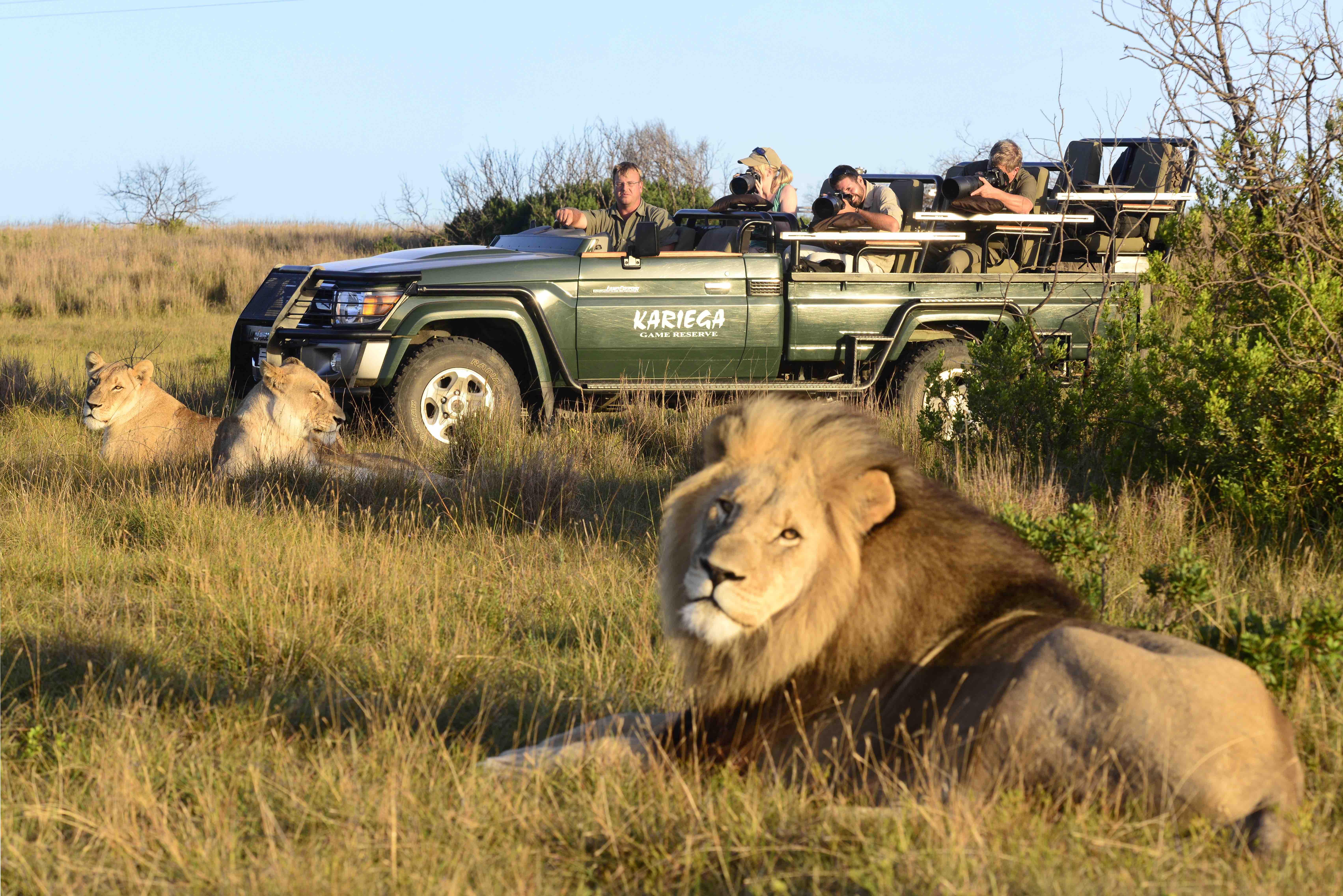 kariega-lion