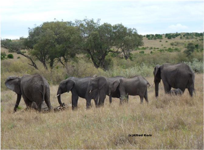 elephants-mourning