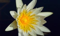 Water-lily-close-up-web-e1392293003100