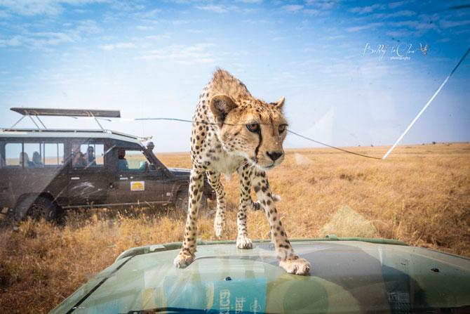 Cheetah-encounter-serengeti