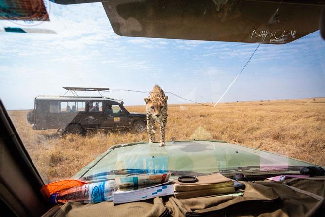 Cheetah-encounter