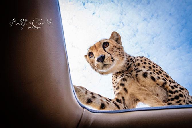 Cheetah-on-car-roof