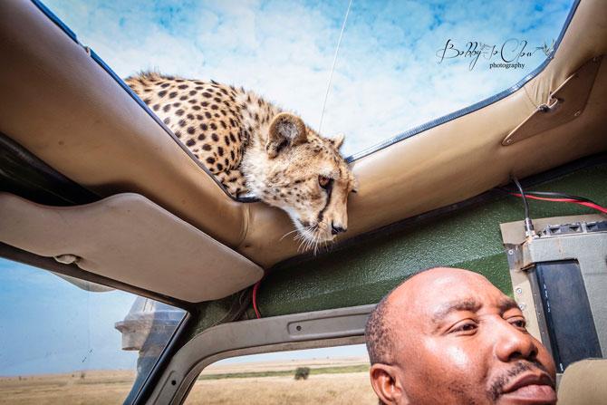 Cheetah-on-roof