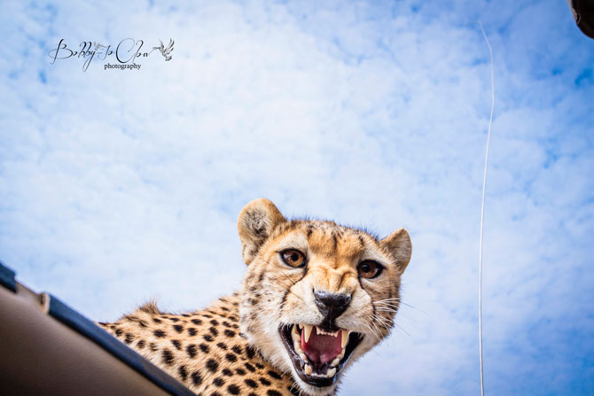 Cheetah-on-vehicle-roof