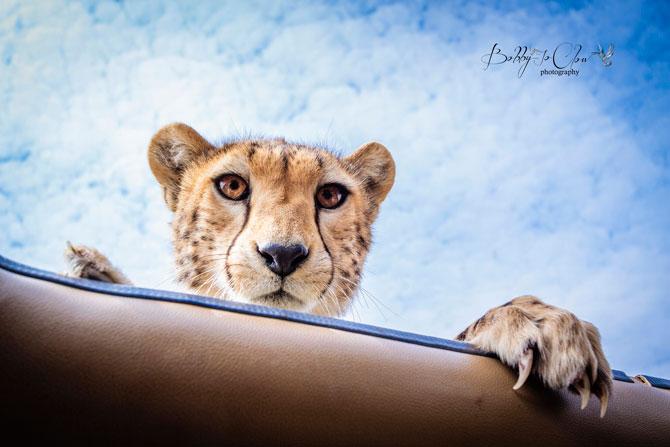 Cheetah-on-vehicles-roof