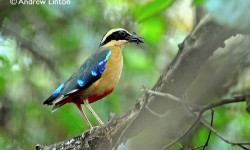 African-Pitta-birding-trip