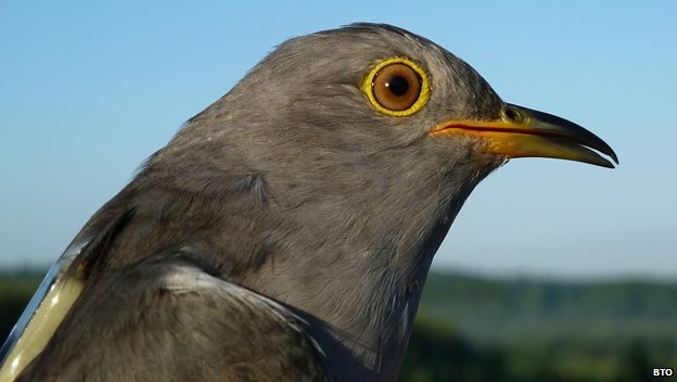 Chris is the only cuckoo to have provided scientists with three years worth of tracking data