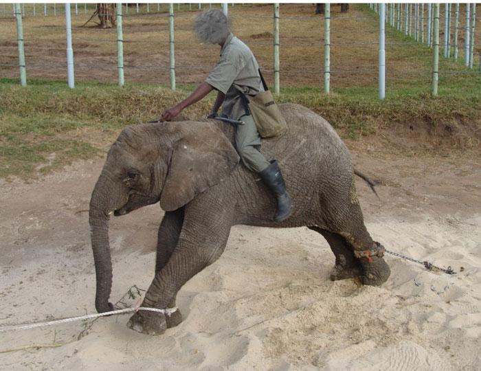 Elephants Animal Animals Calf: Animal Cruelty Charges For Knysna Elephant Park