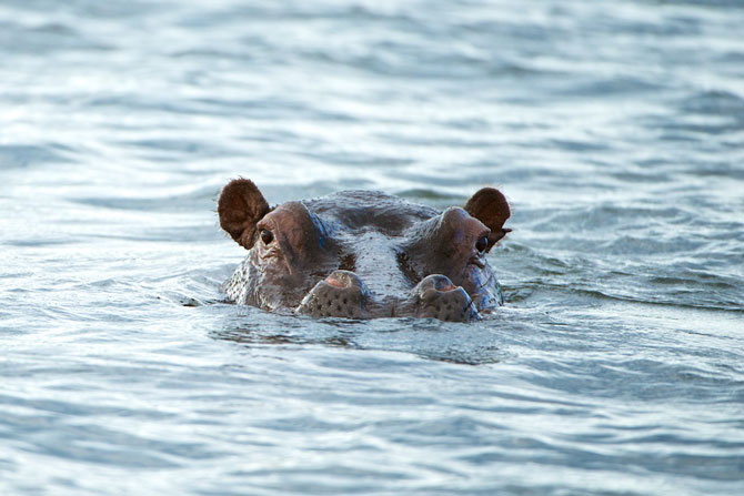 Hippo-in-the-Kafue-River