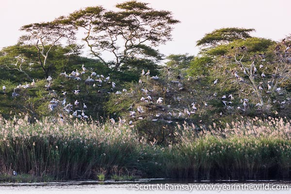 Plenty of yellow-billed storks on their nests at Nyamithi Pan. This photo taken from the Ezulwini Hide.