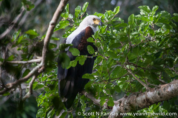 While walking with Sonto, we spotted this fish eagle sitting in thick forest alongside one of the small tributaries of the Pongola River.