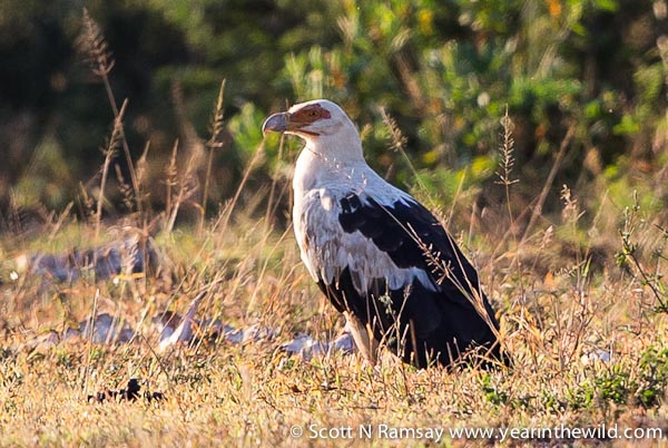 """Palm nut vulture! This one was feeding at the so-called """"vulture restaurant"""", a place where rangers place an animal's carcass, in order to supplement the food of vultures and other scavenging birds."""