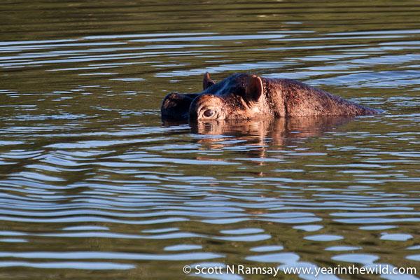 Hippo lurking in the water of Nyamithi Pan.