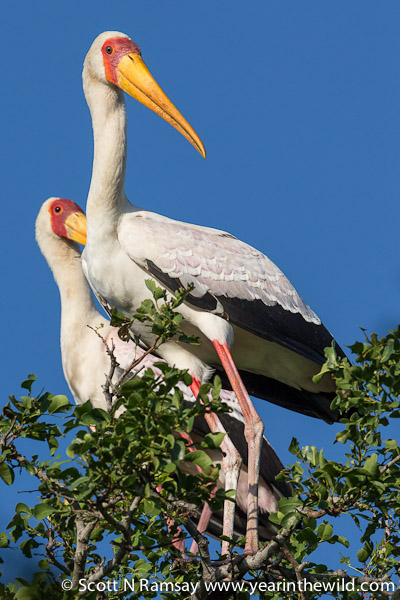 A pair of yellow-billed storks, close to Ezulwini Hide on Nyamithi Pan.
