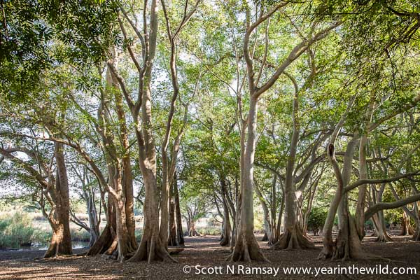 The beautiful fig tree forest at Shokwe Pan, which can only be accessed on foot by walking with one of the guides.