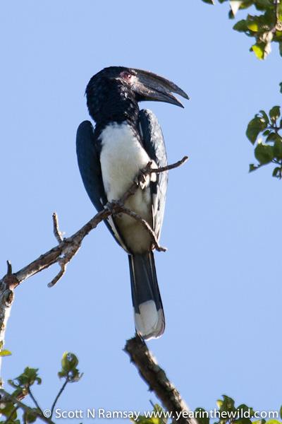 Trumpeter hornbill.
