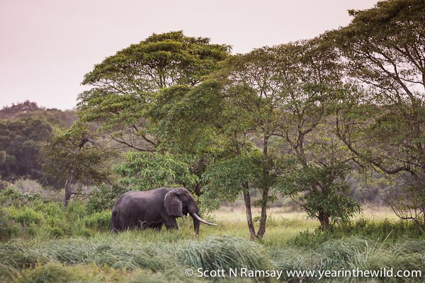 A bull elephant wandering at dusk in among the sandforest near Muzi Swamps