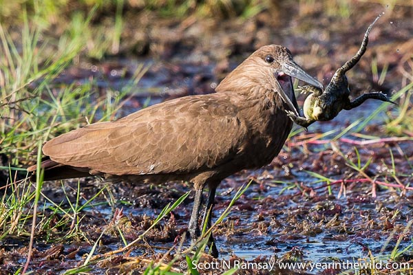 I photographed this hamerkop catching and swallowing a frog whole in the Muzi Swamps in the north-east of Tembe.