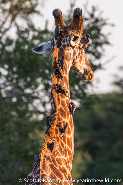 This male giraffe was bombarded by red-billed oxpeckers. These birds - which feed on ticks on the wild herbivores - were reintroduced into Tembe in the past few years after being absent for several decades. In the 1950s the whole of northern KZN was sprayed with pesticide to rid the area of tsetse flies. The pesticide wiped out the tseste flies, but it also wiped out the ticks and oxpeckers.