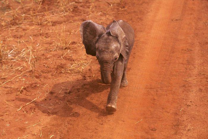 baby-elephant-running