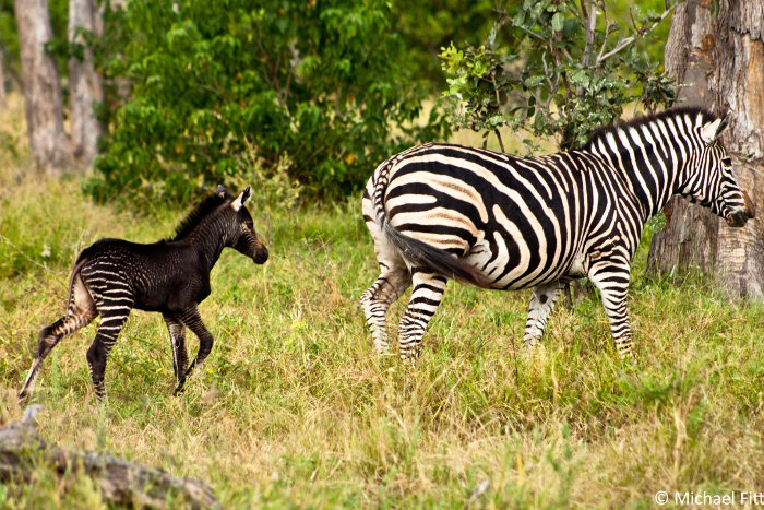 A Black Baby Zebra Africa Geographic
