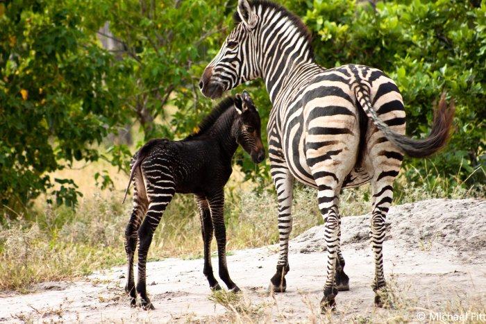 baby pseudo-melanistic zebra, Okavango Delta, Botswana