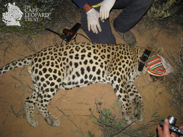 © Cape Leopard Trust