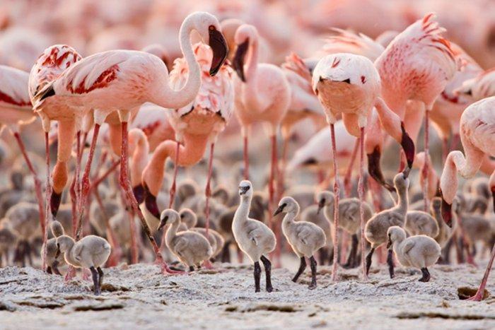 Breeding group of lesser flamingos, known as a creche. Photo © Anup Shah.  Read more at http://news.mongabay.com/2011/0509-hance_flamingos.html#hVBXr1ZUIQwkEMkQ.99