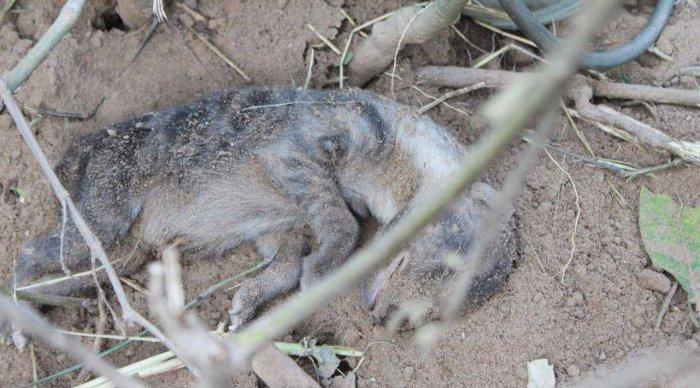hyaena-pup