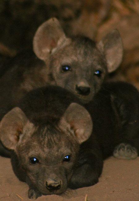 hyena-pups