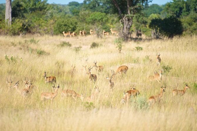 kafue-herds