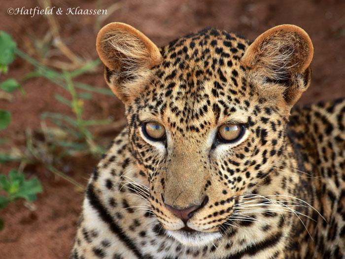 leopard-face