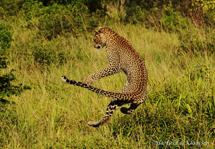 leopard-leaping