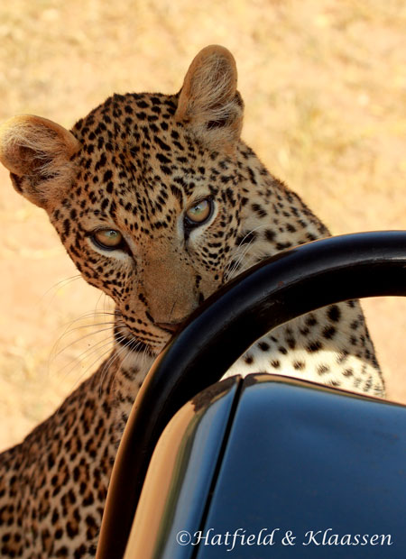 leopard-licking-car