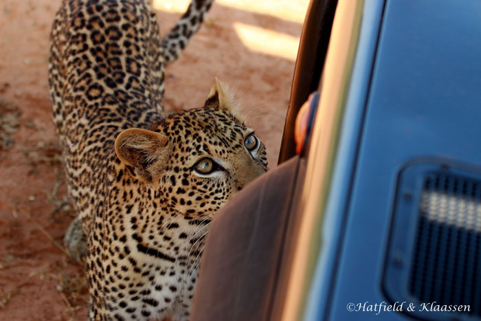 leopard-licking-vehicle