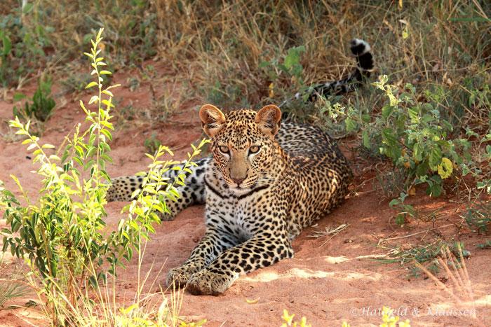 leopard-lying-down