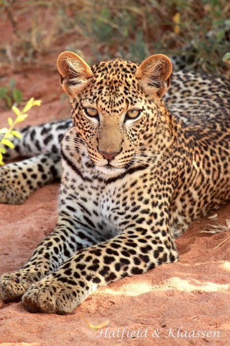 leopard-lying