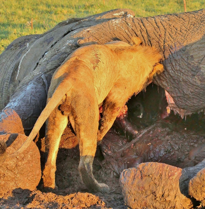 https://africageographic.com/wp-content/uploads/2014/05/lion-and-hyena-at-carcass.jpg