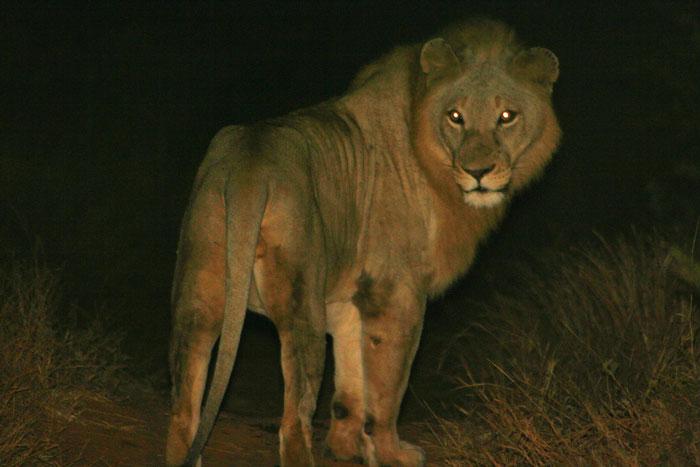 lion-at-night