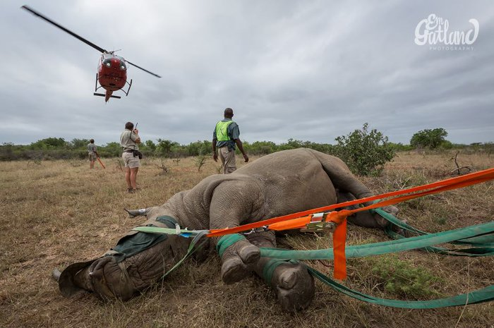 rhino-relocation