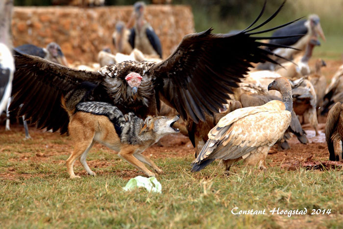 vulture attacks jackal africa geographic