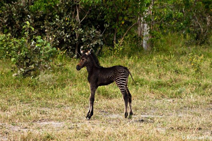 melanistic zebra, Okavango Delta, Botswana