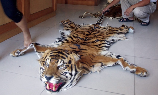 Tiger skins on sale at a retail outlet in Burma. © Adam Oswell/TRAFFIC/EPA