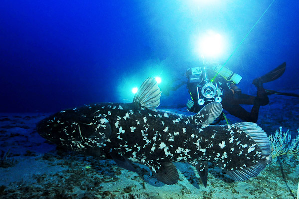 One of the coelacanths that is resident in the deep canyons off Sodwana Bay. This photo is from a filmshoot of the fish.