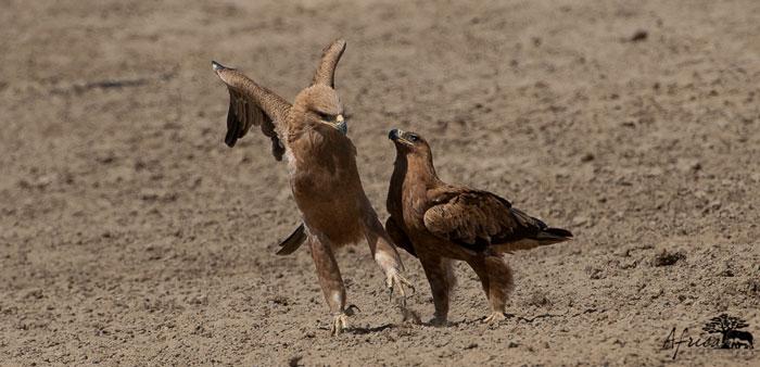 Eagles-Tawny-Africa